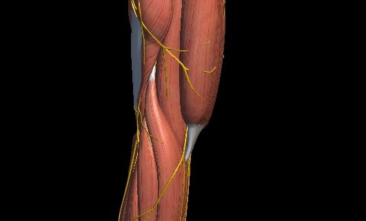 musculus deltoideus